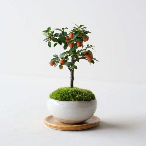 石木花|カマツカコケモモ M 萩