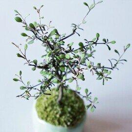 石木花|コロキア 2L 若草