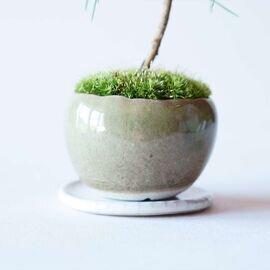 石木花|五葉松 M 4色