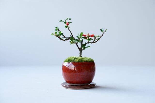 石木花|長寿梅