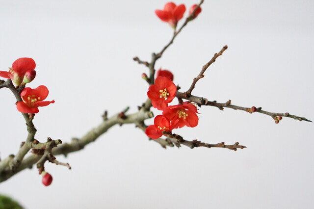 (梅らしい、紅色の花)