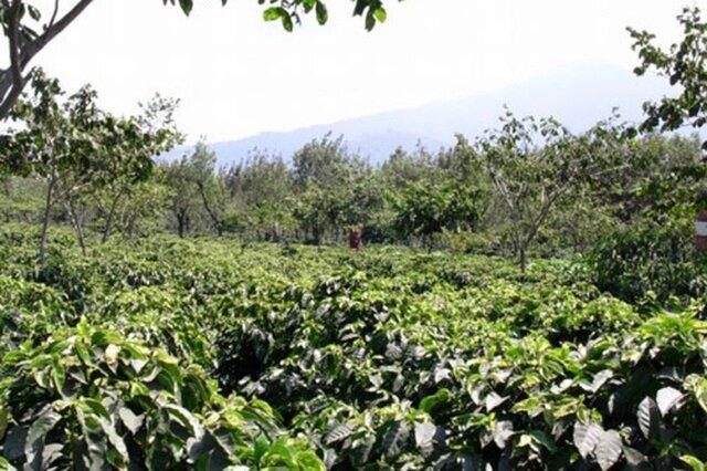 タビノネ|グアテマラ アルトデメディナ農園