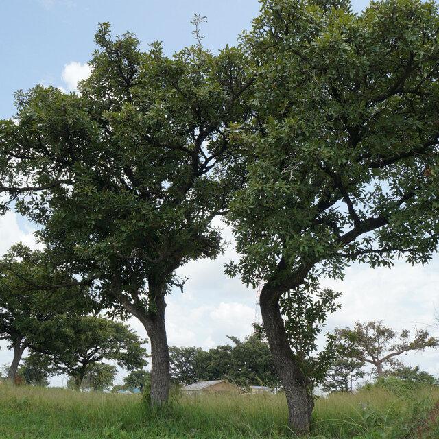 「THE SHEA BUTTER」の原料となるシアの樹は、ナイル川流域にのみ自生しています。 化学薬品などを一切使用せず、自然に育ったシアの樹から採取されるオーガニックシア油は、とても上質で、現地では料理にも使われるほど。 オレイン酸を多く含んでいるので酸化しにくく、新鮮な状態でお使いいただけます。