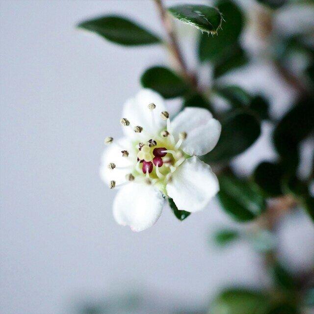(可憐な花を咲かせた後、枝先に実がなります。)