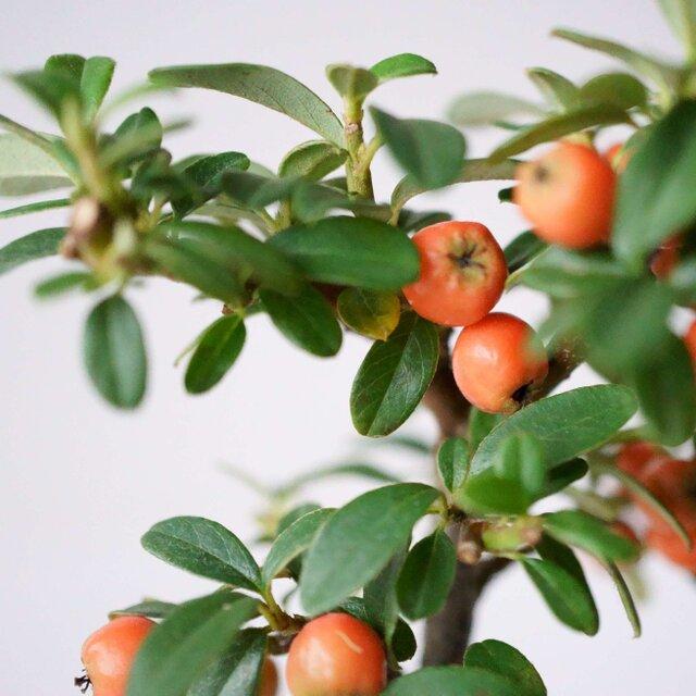 寒くなるとより一層鮮やかな紅に染まる実。春先までの長い期間楽しめます。