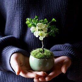 石木花|長寿梅 白花 L 4色