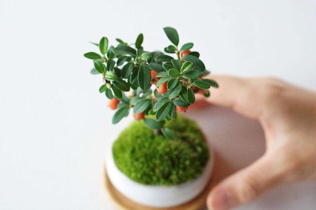 コントラストが美しい佇まい。 萩の鉢は赤い実や緑の葉を引き立てます。