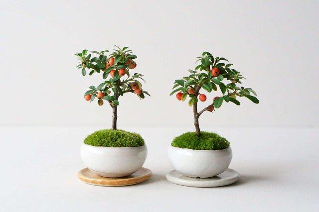 おおよそ同じようなバランスの樹木を取り揃えておりますが、植物ですので、一つ一つ個体差があります。 お手元に届く樹木との出会いを、お楽しみいただければ幸いです。