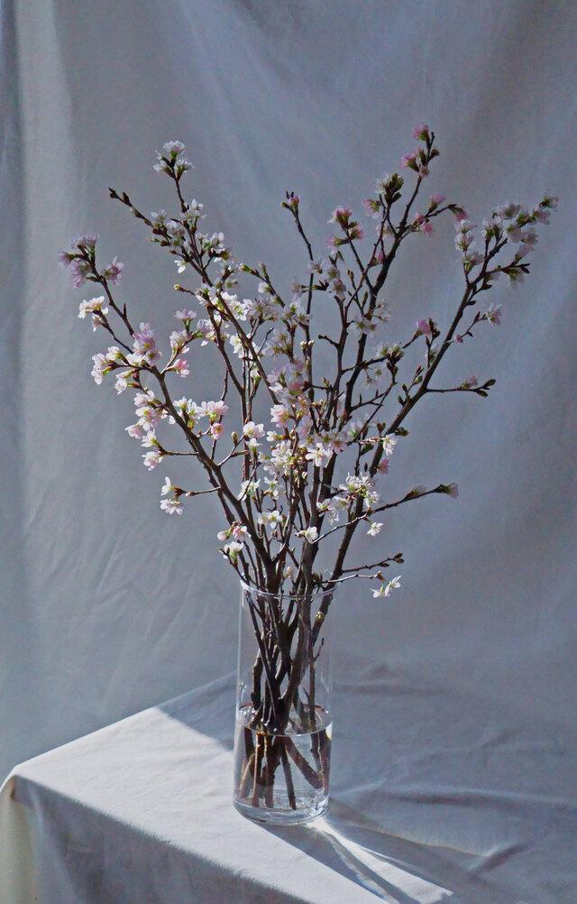 日本の象徴的な花、桜。 凛として華奢な枝ぶりや 淡いピンクの花が美しく 見る人の心を動かします。  (※上の画像はMサイズ)