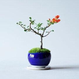 石木花|長寿梅 赤花 M 5色