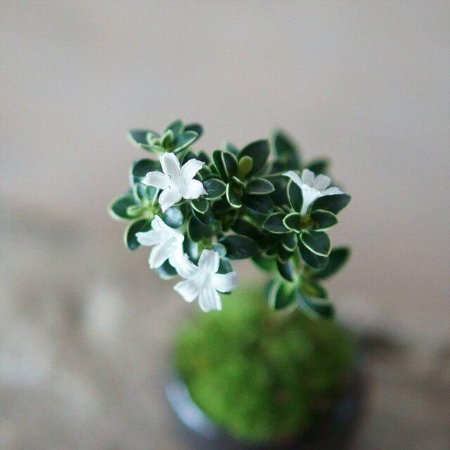 (春と秋、枝先に咲く純白の花。)