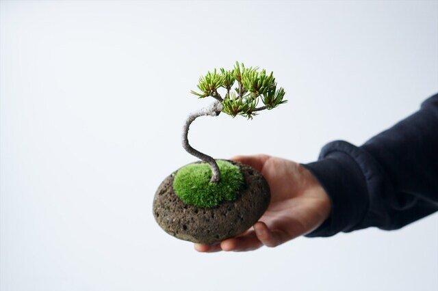 青白く見える葉色もこの木の特徴。英名は「Japanese White pine」(日本の白い松)