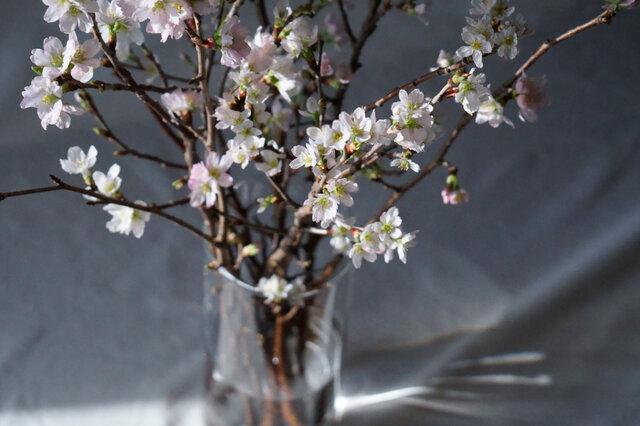 次々と開花する花。 涼しい環境では約1か月ほど 花をお楽しみいただけます。