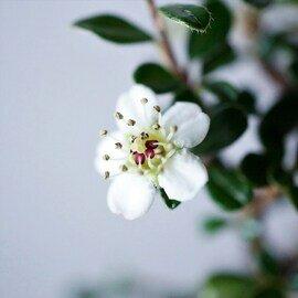 石木花|カマツカコケモモ S 5色